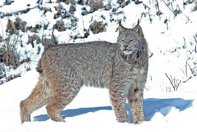 Lynx-18