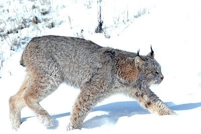 Lynx-12
