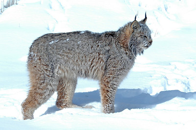 Lynx-11