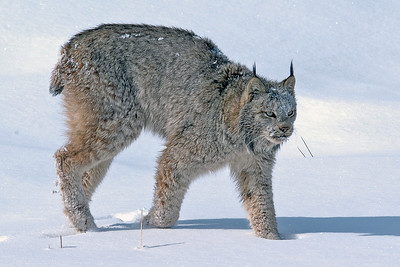 Lynx-20