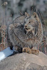 Lynx-08