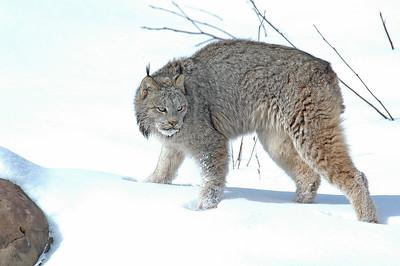 Lynx-02