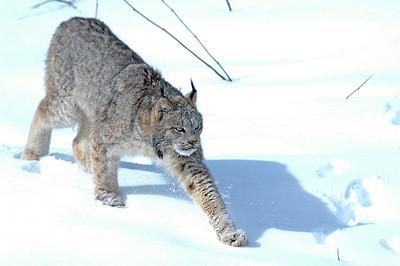 Lynx-04