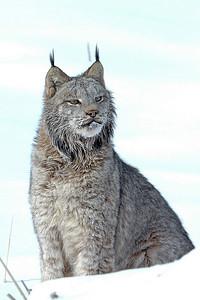 Lynx-13