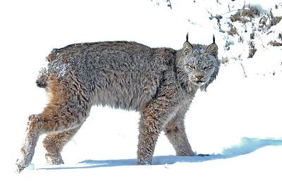 Lynx-19