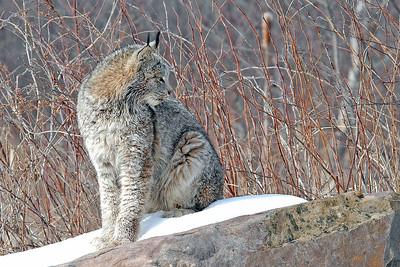 Lynx-14