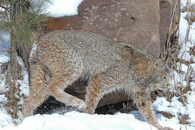 Lynx-06
