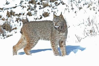 Lynx-01
