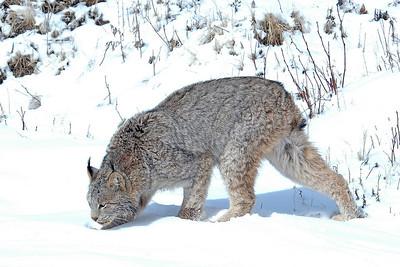 Lynx-10
