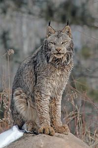 Lynx-09