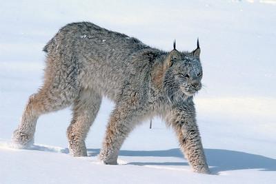 Lynx-16