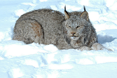 Lynx-17