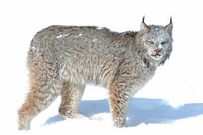 Lynx-05