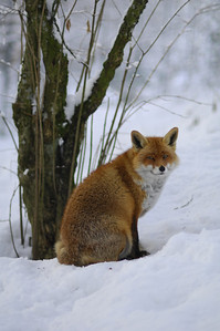 Red Fox - Captivity