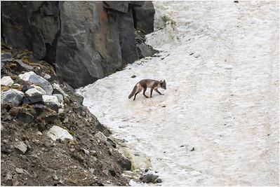 Arctic Fox, Alkenfjellet, Svalbard, 22 July 2009