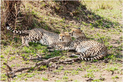 Cheetah, Masai Mara, Kenya, 2 September 2005