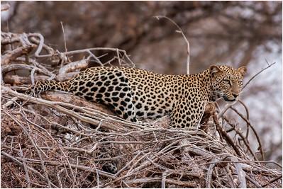 Leopard, Samburu, Kenya, 27 August 2005