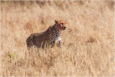 Cheetah, Masai Mara, Kenya, 7 November 2007
