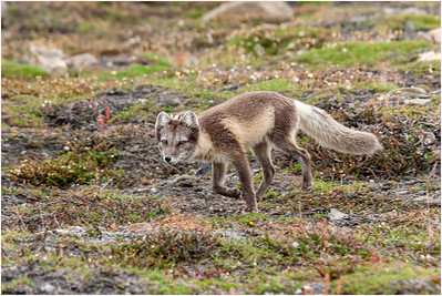 Arctic Fox, Longyearbyen, Svalbard, 25 July 2009