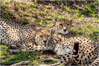 Cheetah, Masai Mara, Kenya, 2 September 2005