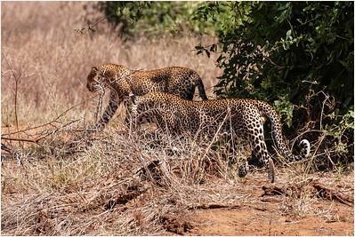 Leopard, Samburu, Kenya, 29 October 2007