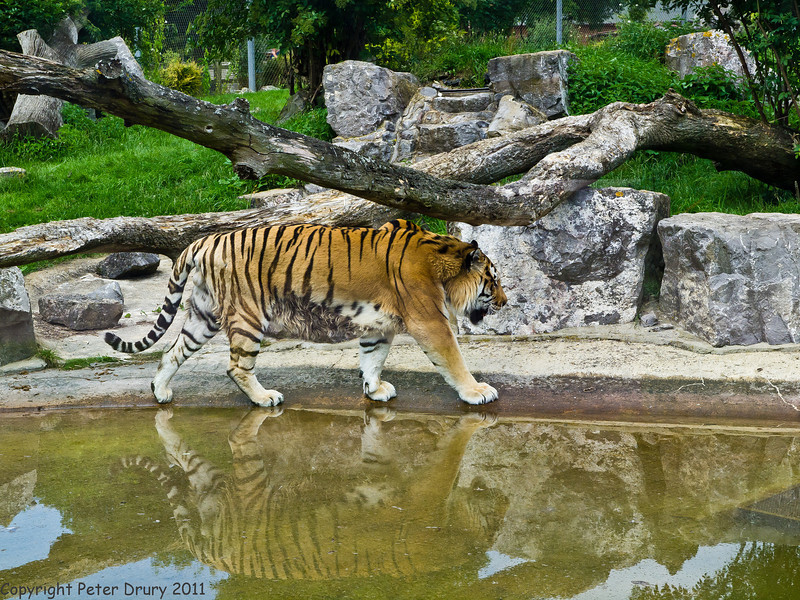 03 July 2011. Tiger at Marwell. Copyright Peter Drury 2011