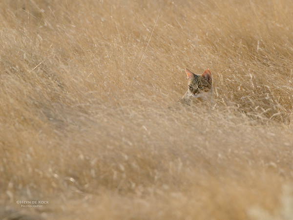African Wild Cat, Etosha NP, NAM, Jul 2011