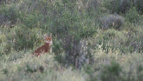 Caracul, Karoo NP, WC, SA, Jan 2014-1