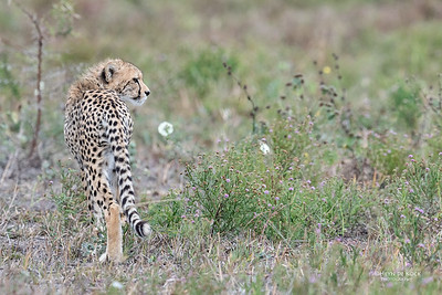 Cheetah, Phinda, KZN, SA, Oct 2016-16