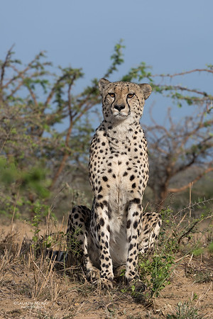 Cheetah, Phinda, KZN, SA, Oct 2016-10