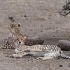 Cheetah, Mashatu GR, Botswana, May 2017-3