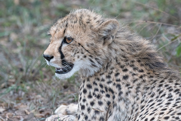 Cheetah, Phinda, KZN, SA, Oct 2016-13