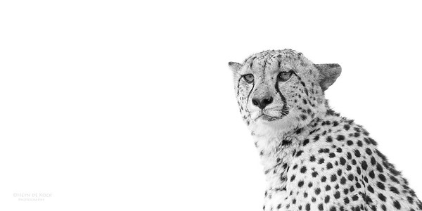 Cheetah, bw, Phinda, KZN, SA, Oct 2016-5
