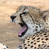 Cheetah, Madikwe GR (Imp), SA, Sept 2015