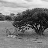 Cheetah, b&w, Mashatu GR, Botswana, May 2017-1