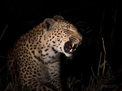 Leopard (Kwatile), Sabi Sands (EP), SA, Sept 2015-1