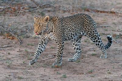 Leopard (Moya), Sabi Sands (EP), SA, Oct 2016-1