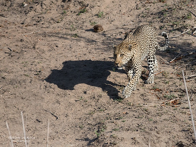 Leopard (Anderson), Sabi Sands (EP), SA, Oct 2016-3