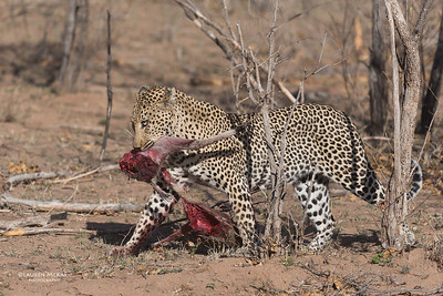 Leopard (Anderson), Sabi Sands (EP), SA, Oct 2016-6