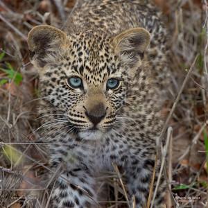 Leopard (Salayexe's cub), Sabi Sands (EP), SA, Sept 2015