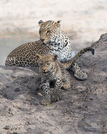 Leopard (Salayexe & cub), Sabi Sands (EP), SA, Sept 2015-4