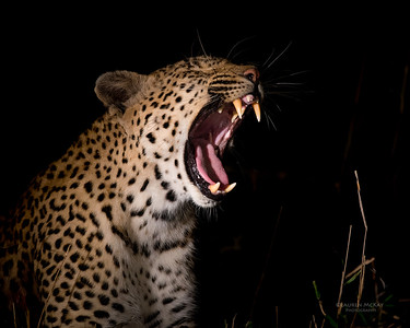 Leopard (Kwatile), Sabi Sands (EP), SA, Sept 2015a