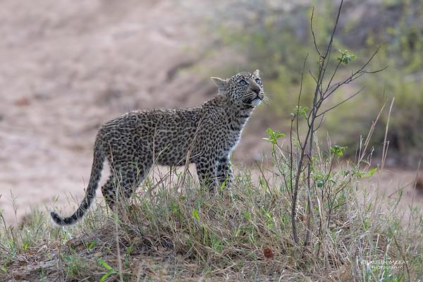 Leopard (Salayexe's cub), Sabi Sands (EP), SA, Sept 2015-1