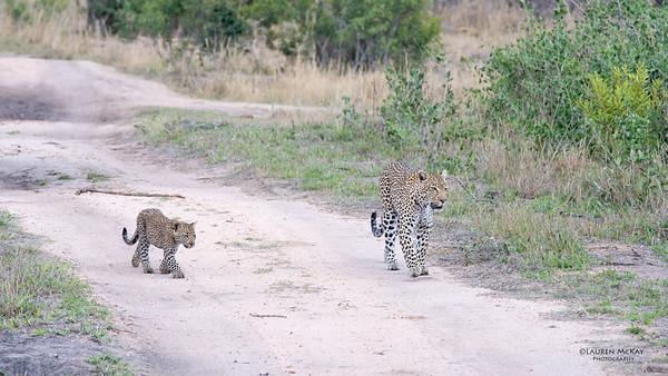 Leopard (Salayexe & cub), Sabi Sands (EP), SA, Sept 2015-3