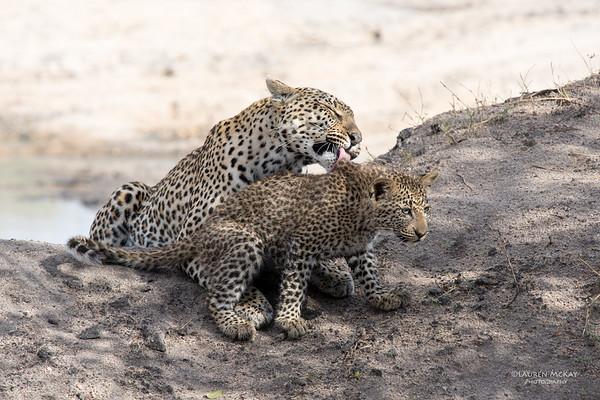 Leopard (Salayexe & cub), Sabi Sands (EP), SA, Sept 2015-2