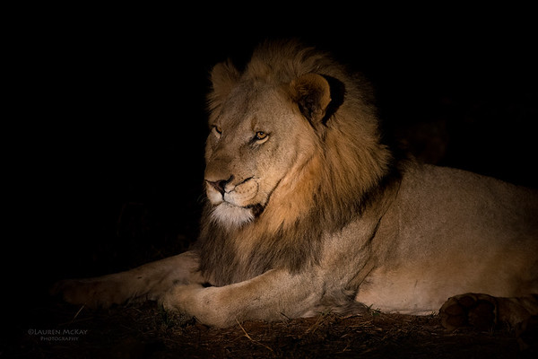 African Lion, Madikwe GR (Imp), SA, Sept 2015-1