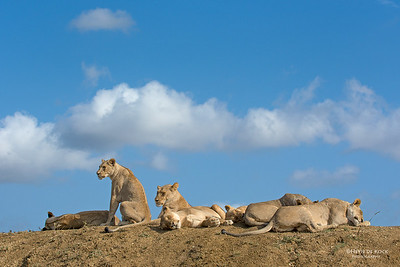 African Lion, Phinda, KZN, SA, Oct 2016-3