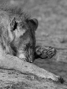 African Lion, b&w, Sabi Sands (EP), SA, Oct 2016-36