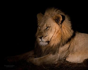 African Lion, Madikwe GR (Imp), SA, Sept 2015-2