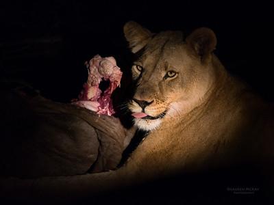 African Lion, Madikwe GR (Imp), SA, Sept 2015